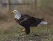 small bald eagle