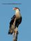 small crested caracara