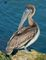 small brown pelican