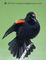 small red winged blackbird