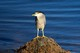 small black-crowned-night-heron