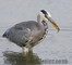 small grey-heron