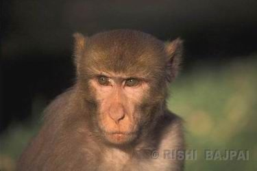 rhesus monkey  male