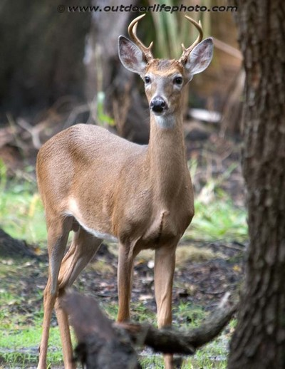 the whitetail deer