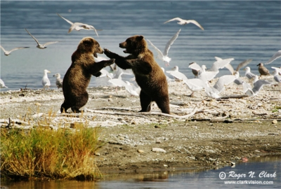 Brown Bear Behavior - Photorena