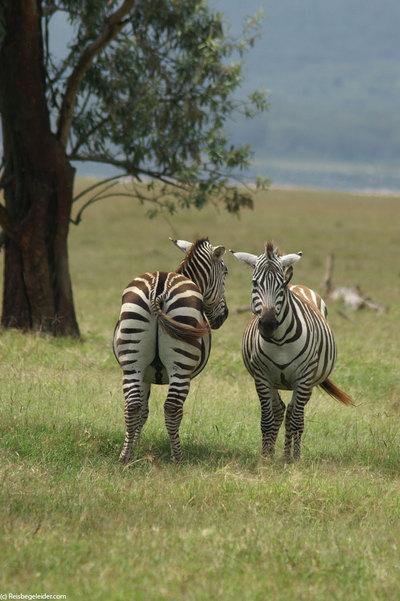 Burchell Zebra Mating Photorena